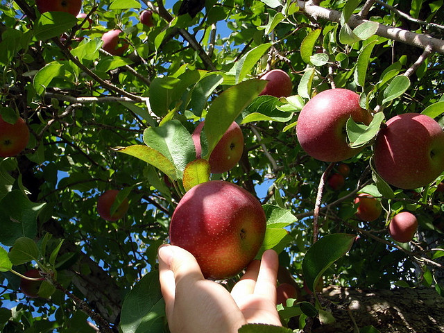 image - apple-picking.jpg